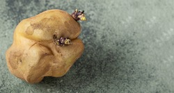 deformed ugly potato with sprouts on dark green background. Potato seeds on a vegetable.Food waste concept