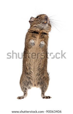 degu rodent pet in standing pose isolated on white