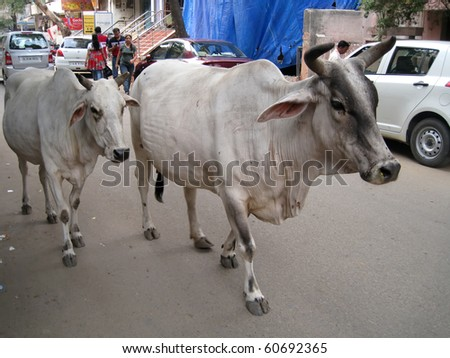 DELHI, INDIA - JULY 18: Holy cows on the street next to vehicles and people on July 18, 2010 in Delhi, India.