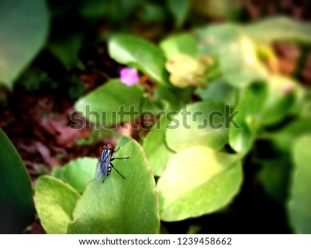 Delia radicum, cabbage root fly, root fly or turnip fly, is an important pest of oilseed rape. House fly.