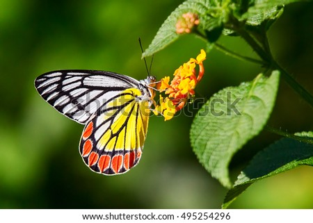 Delias eucharis or common Jezebel butterfly bathing on Lantana flowers