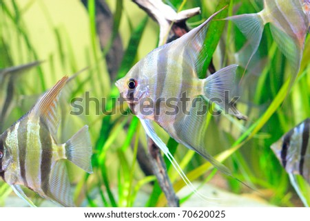Delicate angelfish with black stripes in aquarium
