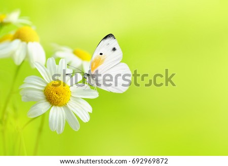 Delicate beautiful light green natural summer spring background pattern with daisies and a white butterfly macro. Light airy exquisite artistic image of nature. Gentle breath of nature