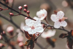Delicate branch of apricot tree covered with beautiful white flowers in spring garden. Blooming trees close up in springtime