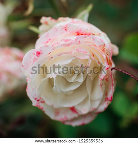delicate, delicate bud of a white with red rim roses on a bush in the garden. Beautiful floral background. Nice greeting card. #1525359536