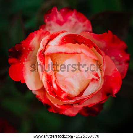 delicate, delicate bud of a white with red rim roses on a bush in the garden. Beautiful floral background. Nice greeting card. #1525359590