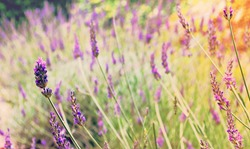 Delicate field of lavender. Photography full of light and color. Bucolic, macro photography. Suggests happiness and calm.