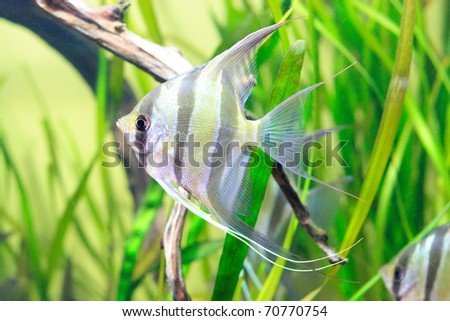 Delicate fish with black stripes in aquarium