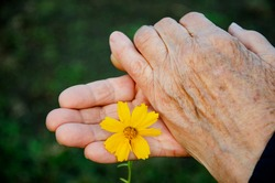 Delicate flower in old hands close-up. Grandmother's wrinkled hands with a flower. The concept of kindness and mercy. Charity. Flowers in old hands. Old hands with flower close-up.