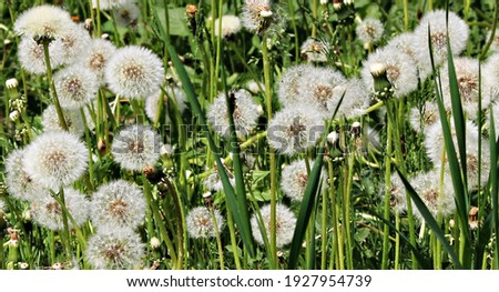 Delicate fluffy afterflowers of dandelions in the meadows on sunny spring days. Stockfoto ©