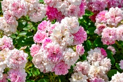 Delicate inflorescences of pale pink roses of Les Quatre Saisons variety, growing outdoors in a garden. Elegant pink and white and green floral natural texture for romantic cards or botanical banners