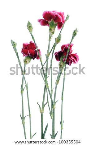 Delicate little flowers carnations isolated on white background