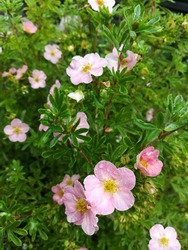 delicate little flowers of Potentilla fruticosa Lovely Pink on the background of openwork green foliage. Flower Wallpaper