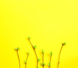 Delicate little leaves from open buds on branches-sprouts on a yellow background. Spring, the beginning of a new life. Copy space