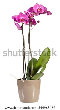 Delicate long stemmed spray of magenta pink phalaenopsis orchids growing in a pot for indoor decor, over a white background #544965469