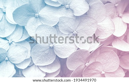 Delicate natural floral background in light blue and violet pastel colors. Texture of Hydrangea flowers in nature with soft focus, macro. ストックフォト ©