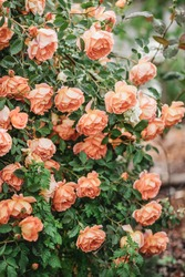Delicate peach roses in a full bloom in the garden. Close-up photo. Dark green background. Orange floribunda rose in the garden. Garden concept. Rose flower blooming on background blurry roses flower