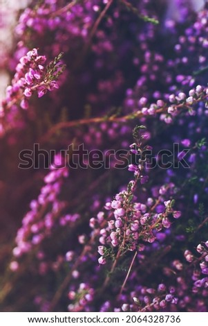 Delicate pink floral background with wild forest heather (Calluna vulgaris) flowers, soft selective focus