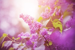 Delicate pink fragrant lilac flowers bloomed on branches with green leaves, illuminated by sunlight.