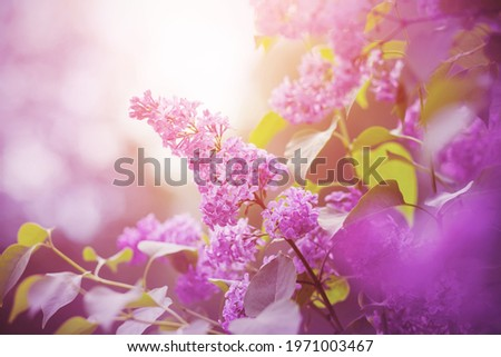 Delicate pink fragrant lilac flowers bloomed on branches with green leaves, illuminated by sunlight. Foto d'archivio ©