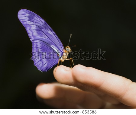 Delicate purple butterfly on a child's fingers.  Isolated on black.