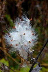 Delicate seed pods of a milkweed plant ready to blow away on the autumn wind
