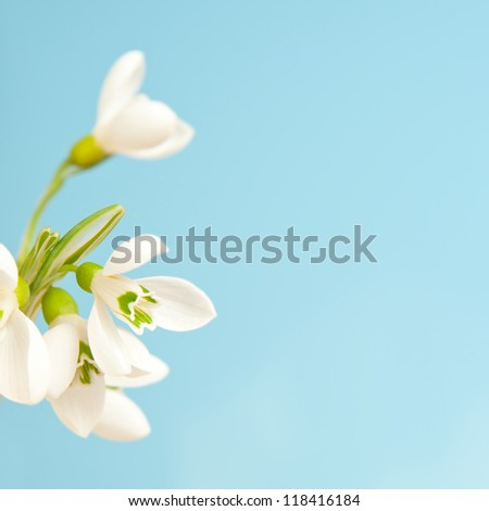 delicate snowdrops on a blue background