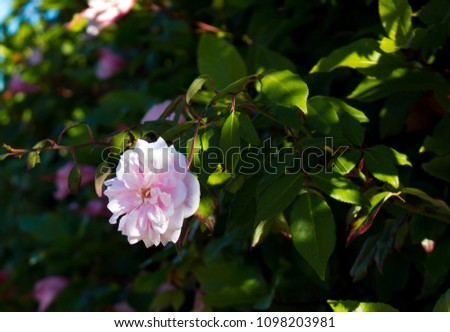 """Delicate thornless  silvery pink climber Rose 'Cecile Brunner""""  'Sweetheart Rose, 'Malteser Rose', or 'Mignon',  a light pink polyantha rose bred in France in 1888 is a delightful decorative  plant. #1098203981"""