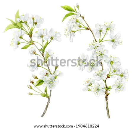 Delicate white spring cherry blossoms on a twig. Watercolour illustration. A set of beautiful colors for your design Photo stock ©