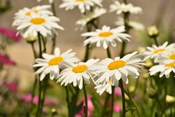 delicate yellow and white Shasta daisy flower