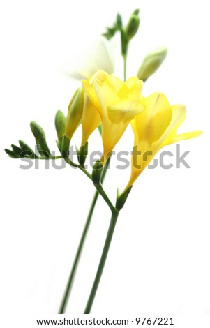 Delicate yellow freesia isolated on white background.