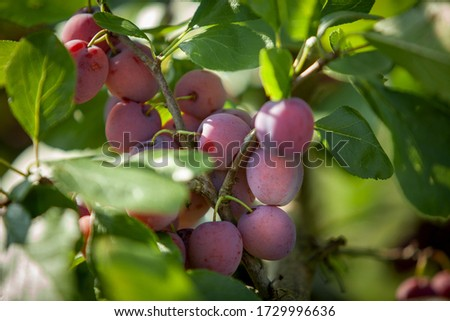 delicious plums on plum tree in Norway