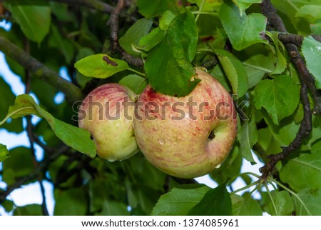 delicious ripe ripe apples on apple, green leaves #1374085961