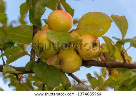 delicious ripe ripe apples on apple, green leaves #1374085964