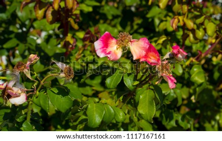 Deliciously  spicy fragranced  bright  candy pink rose blooming in autumn which  is showy and ornamental adding a  glorious splash of deeper tones to the garden landscape. #1117167161