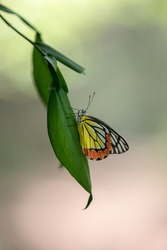 Delightful pastoral airy artistic image. colorful butterfly on a leaf. pastel spring background. blooming gardens.  big butterfly sitting on green leaves, beautiful insect in the nature habitat,