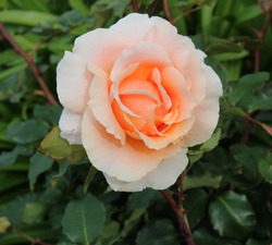 Delightful  salmon pink romantic hybrid tea rose  in  blooming in early spring  adding fragrance and color to the garden scape.