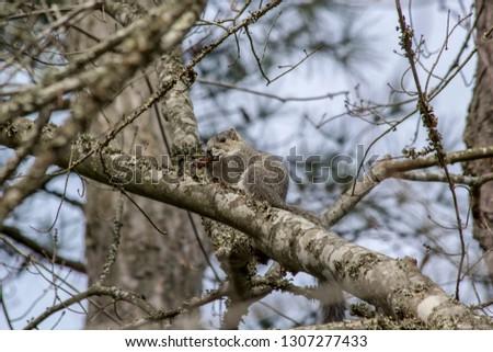 Delmarva Fox Squirrel, Sciurus niger cinereus