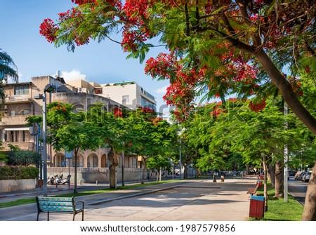 Delonis ( Poinciana) trees  blooming on Boulevard Rothschild in Tel Aviv. Photo stock ©
