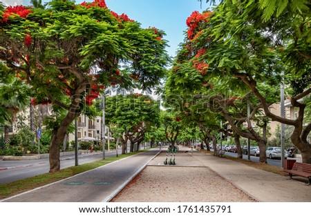 Delonis ( Poinciana) trees on  Boulevard Rothschild in Tel Aviv. Photo stock ©
