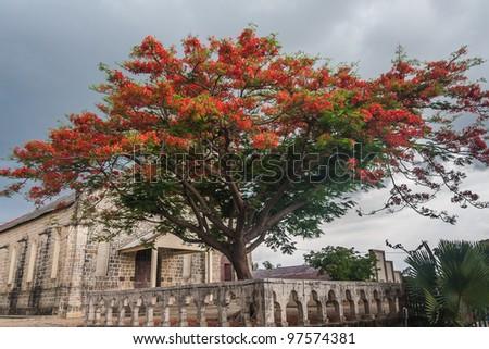 Delonis Regia (Flamboyant) front of the Catholic Church of Ambilobe, northern Madagascar - stock photo