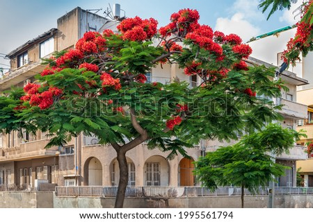 Delonix Regia  ( Royal Poinciana) tree  over Bauhaus style  building  at boulevard Rothschild in Tel Aviv. Photo stock ©