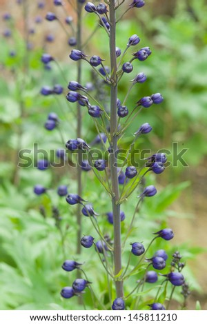 Delphinium buds in early summer