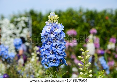 Delphinium Candle Delphinium?English Larkspur?Tall Larkspur #1049879504