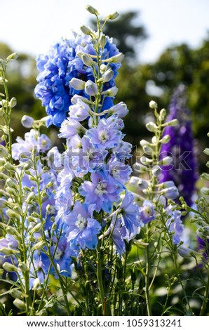 Delphinium Candle Delphinium English Larkspur Tall Larkspur #1059313241