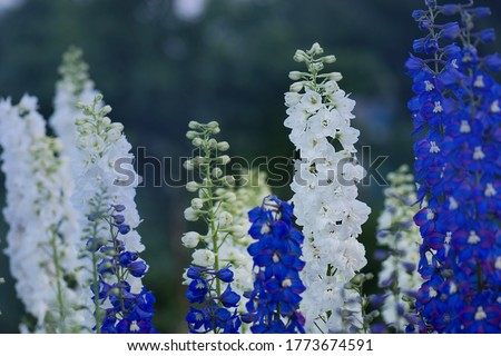 Delphinium flower blooming. Beautiful larkspur blooms. Candle Larkspur plant with flowers on blurred background