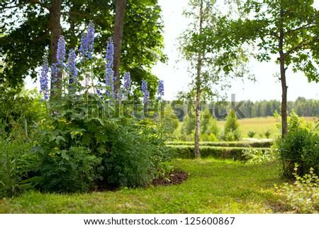 delphinium in the garden