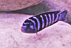 Demasoni Cichlid in freshwater aquarium. Pseudotropheus demasoni is freshwater fish found in Lake Malawi. it is an African cichlids in Cichlidae family.