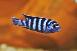 Demasoni Cichlid (Pseudotropheus demasoni) is swimming in freshwater aquarium. it is one of the most aggressive and territorial mbuna, Lake Malawi, a popular freshwater aquarium fish.