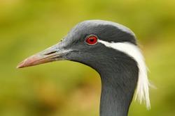 Demoiselle Crane, Anthropoides virgo, bird hidden in the grass near the water. Detail portrait of beautiful crane. Bird in green nature habitat, India, Asia. Wildlife scene from nature. crane portrait